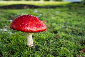 red and white mushroom on grass